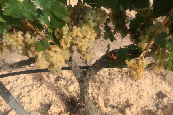 Grapes vintage 2021
